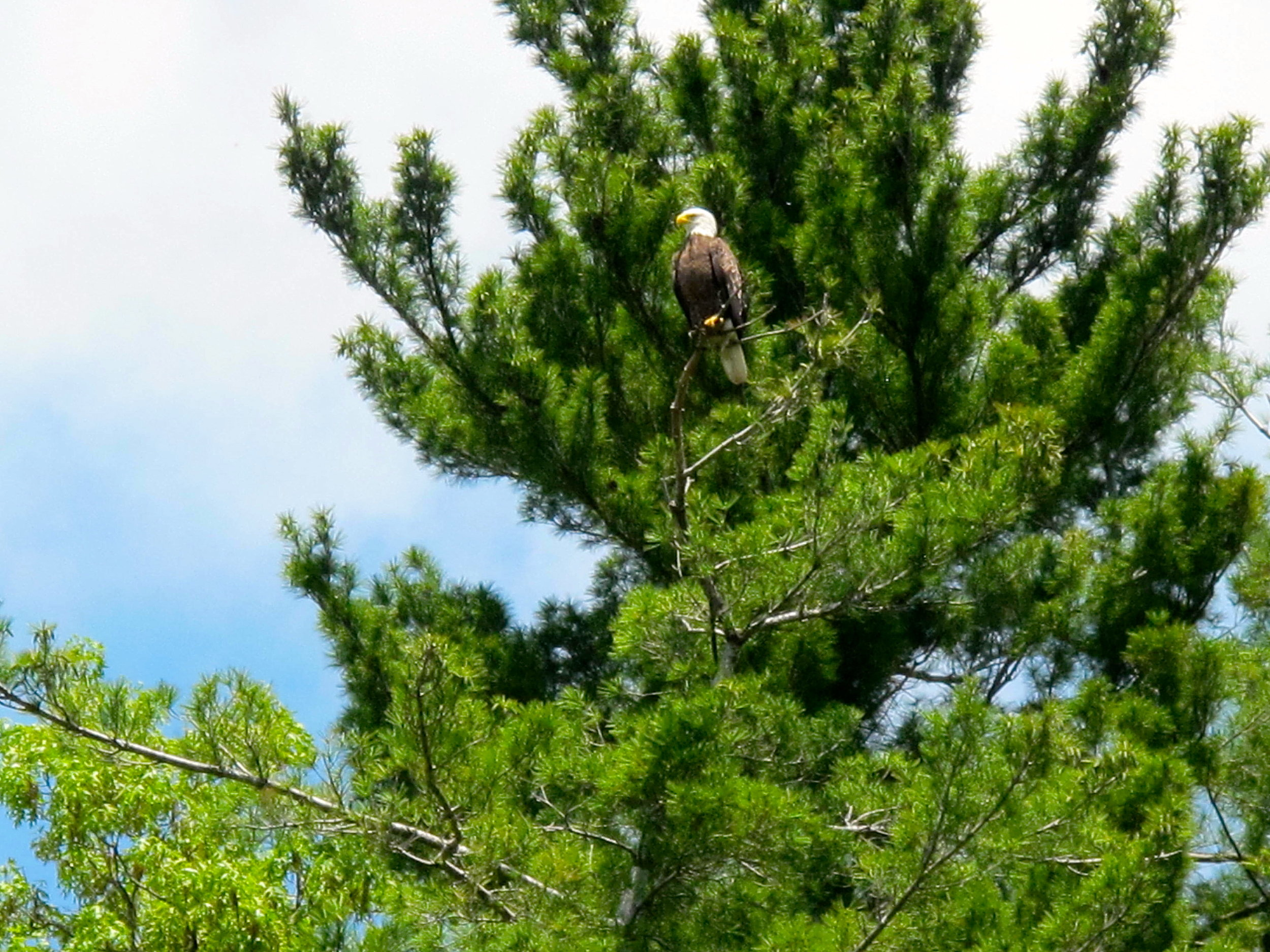 bald-eagle-in-conifer.jpg