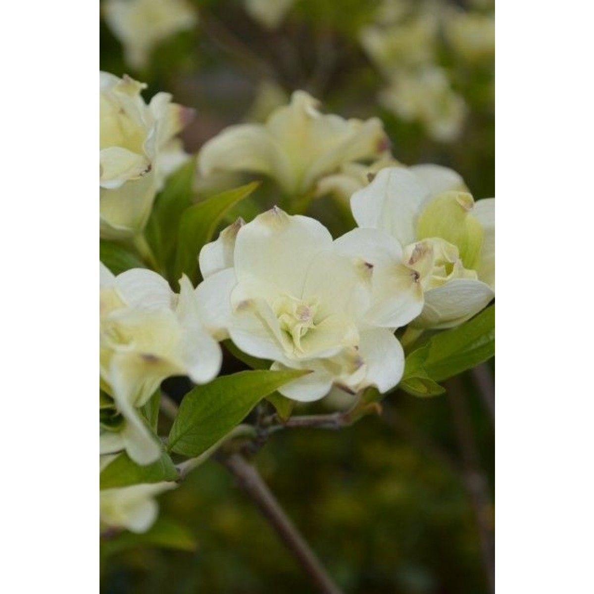 cornus_florida_eternal_flwr_-_may_4_2015-3_426x640_.jpg