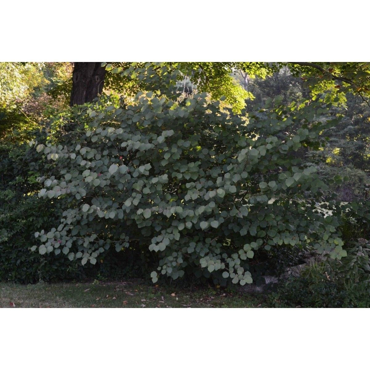 disanthus_cercidifolius_habit_-_boulder_farm_-_august_26_2015-3.jpg