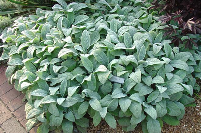 stachys-helen-von-stein-oreille-lapin-plante-vivace_660x0.jpg