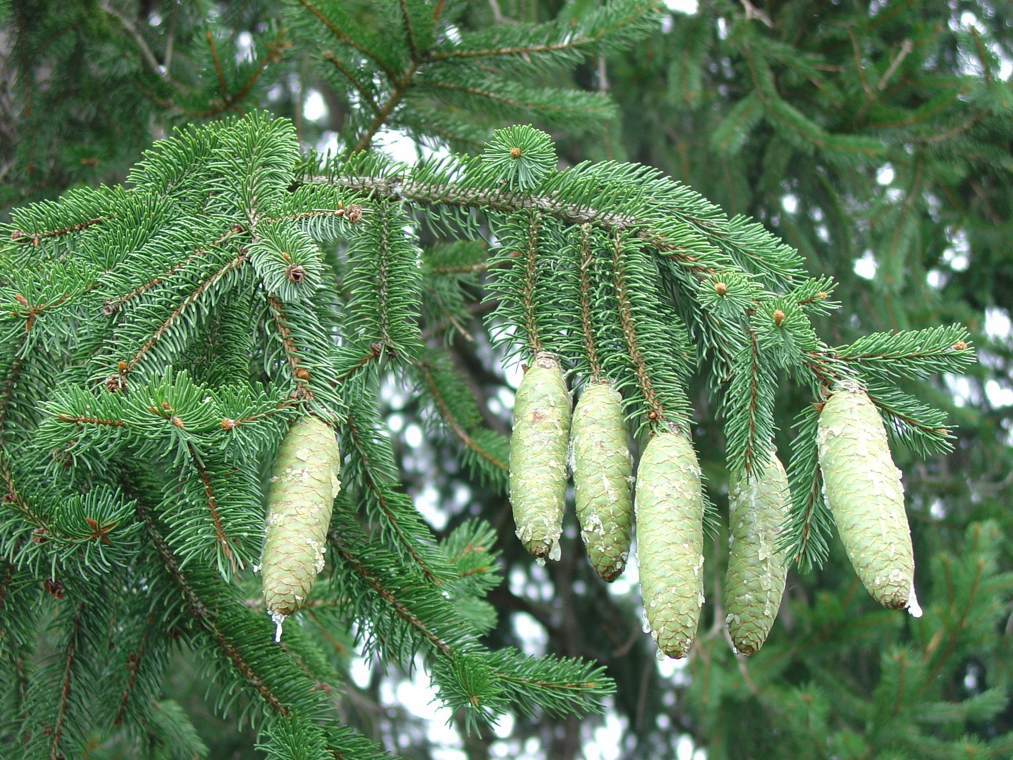 Picea-abies-green seed cones.jpg