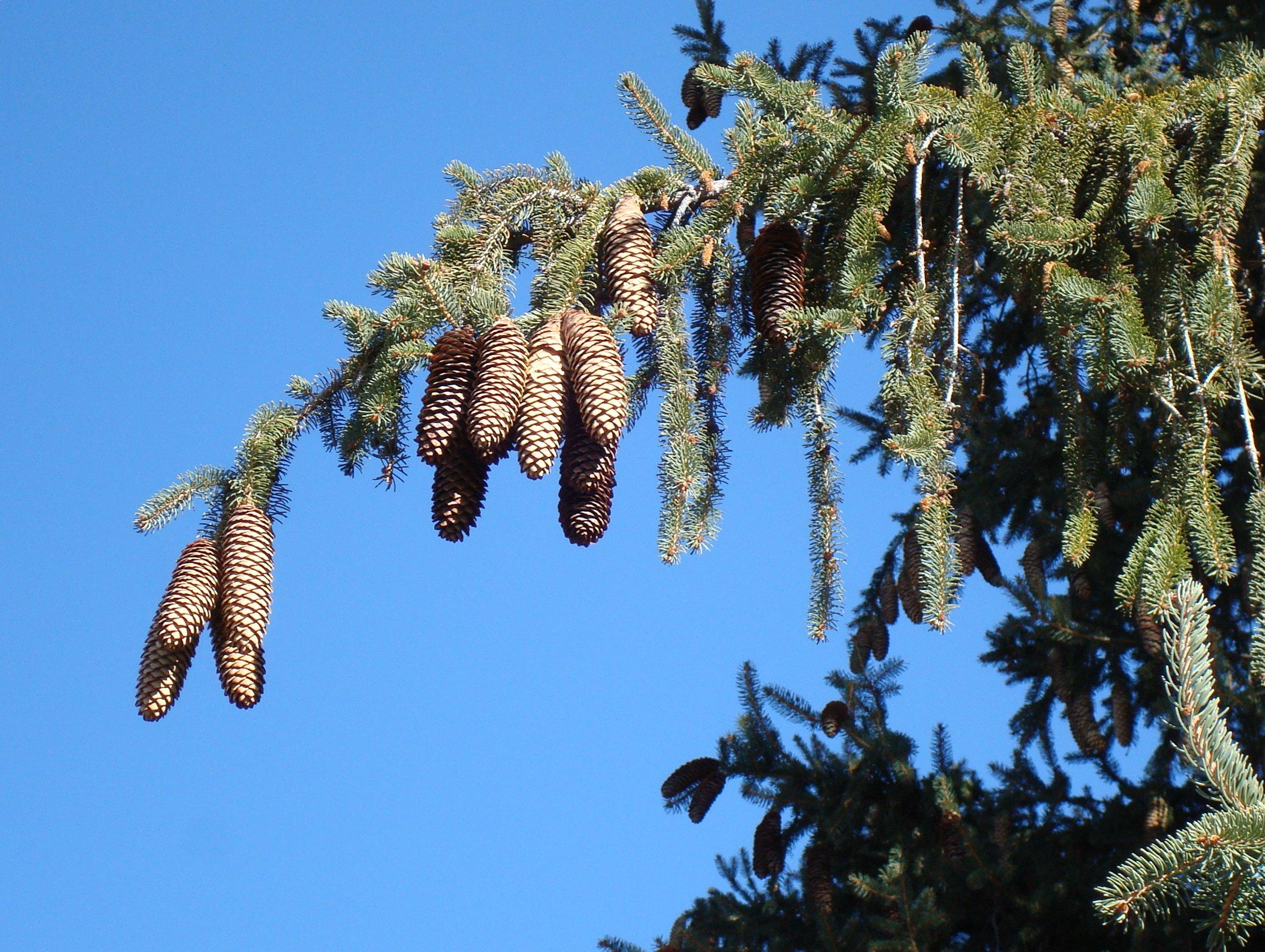 kervin-norway-spruce-cones.jpg