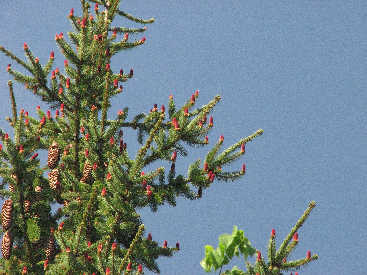 Mature cones and developing cones on the same Norway spruce. The developing female (seed) cones are upright and red-colored, whereas the mature cones that hadn't fallen off the tree are brown and hanging downward.