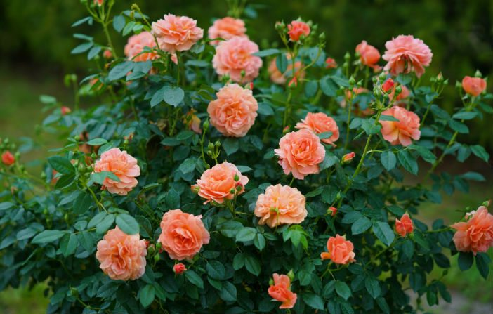 Proven-Winners-Rosa-At-Last.jpg