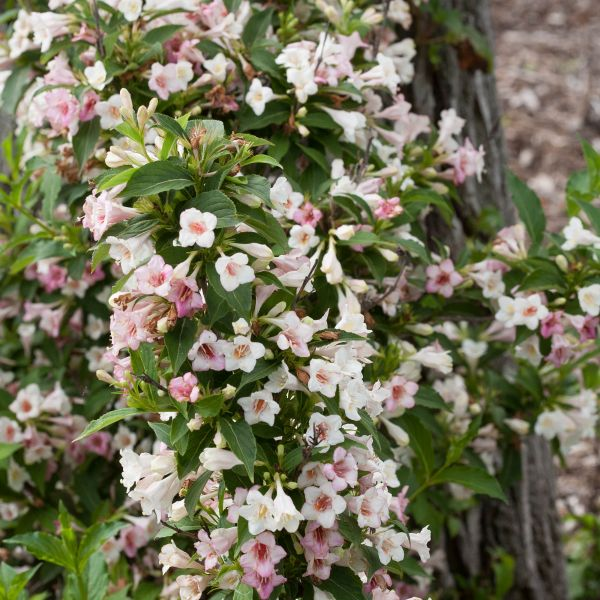 sonic-bloom-pearl-weigela-blooms-and-foliage-close-up-600x600.jpg