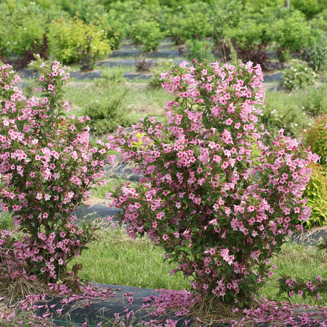 Weigela Sonic Bloom Pure Pink 1_1080_1080_60.jpg