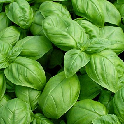 Basil   Italian Large Leaf Basil. Expect to see germination in 5 to 10 days.