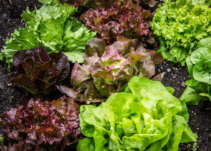 Lettuce - Click here to look at our lettuce seed selection