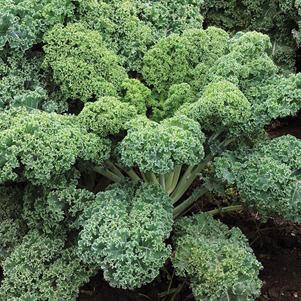 Starbor_Kale_600x.png