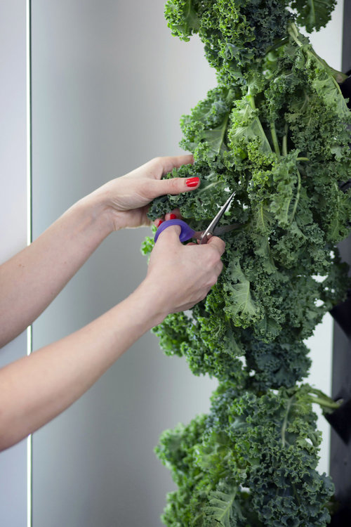Harvesting with the AEVA is easy. Kale salad is ready in your home with just one snip.