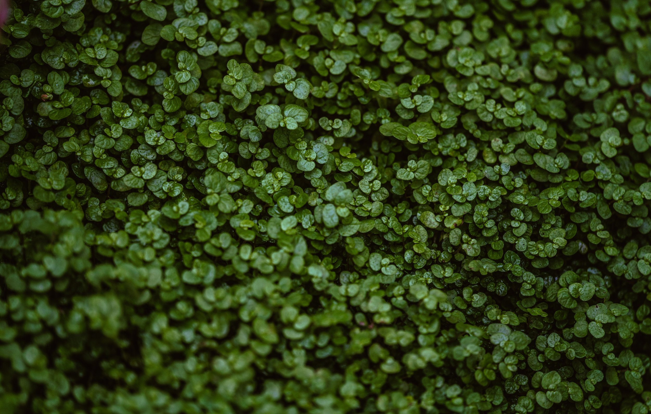 tiny-green-leaves-up-close_4460x4460.jpg