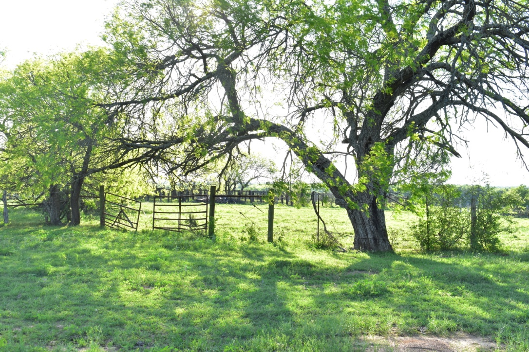 Beautiful Oaks Adorn our Property.