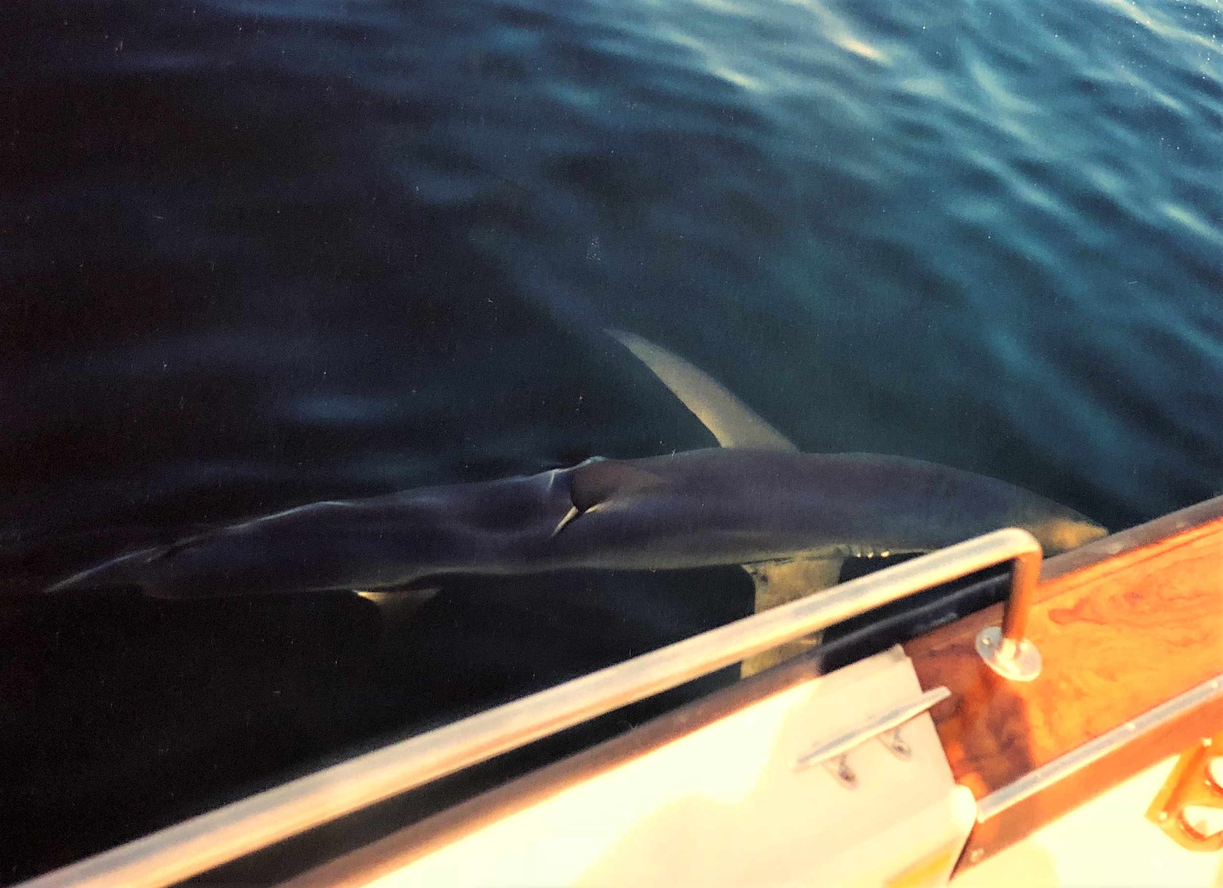 Shark - 8+ Hours - $800Seasons: July - September.Locations: Portsmouth, NH.Duuun-Dun, Duuun-Dun. Few things get a fisherman's heart pounding like seeing the dorsal fin of a large shark slowly working its way through the waves. We leave from Portsmouth Harbor and head offshore for a day chasing some of the largest fish in New England. It's not uncommon to see Whales, Dolphins, Ocean Sunfish and Bluefin Tuna on these trips. We use the latest in heavy duty offshore spinning gear, allowing for an enjoyable and comfortable experience when fighting these giants. To make the most of our time spent offshore, jigging for Cod, Haddock, Pollock and Halibut is a fun way to bring dinner home while drawing in Blue, Mako, Porbeagle and Thresher Sharks.