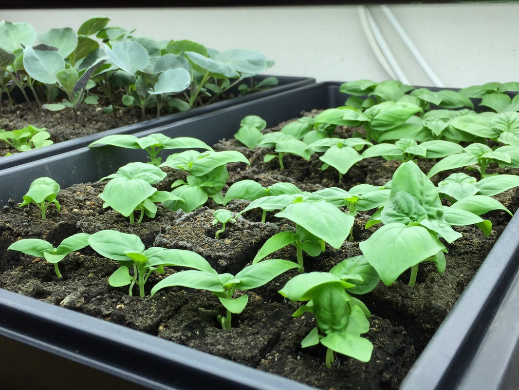 Basil and brussels sprouts indoors under the grow lights