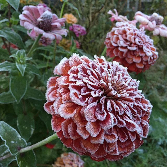 Goodbye for this year beautiful scarlet zinnias.  #firstfrost