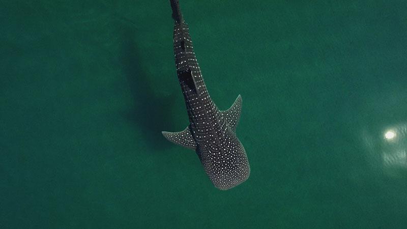 Whale-Shark_WEB.jpg