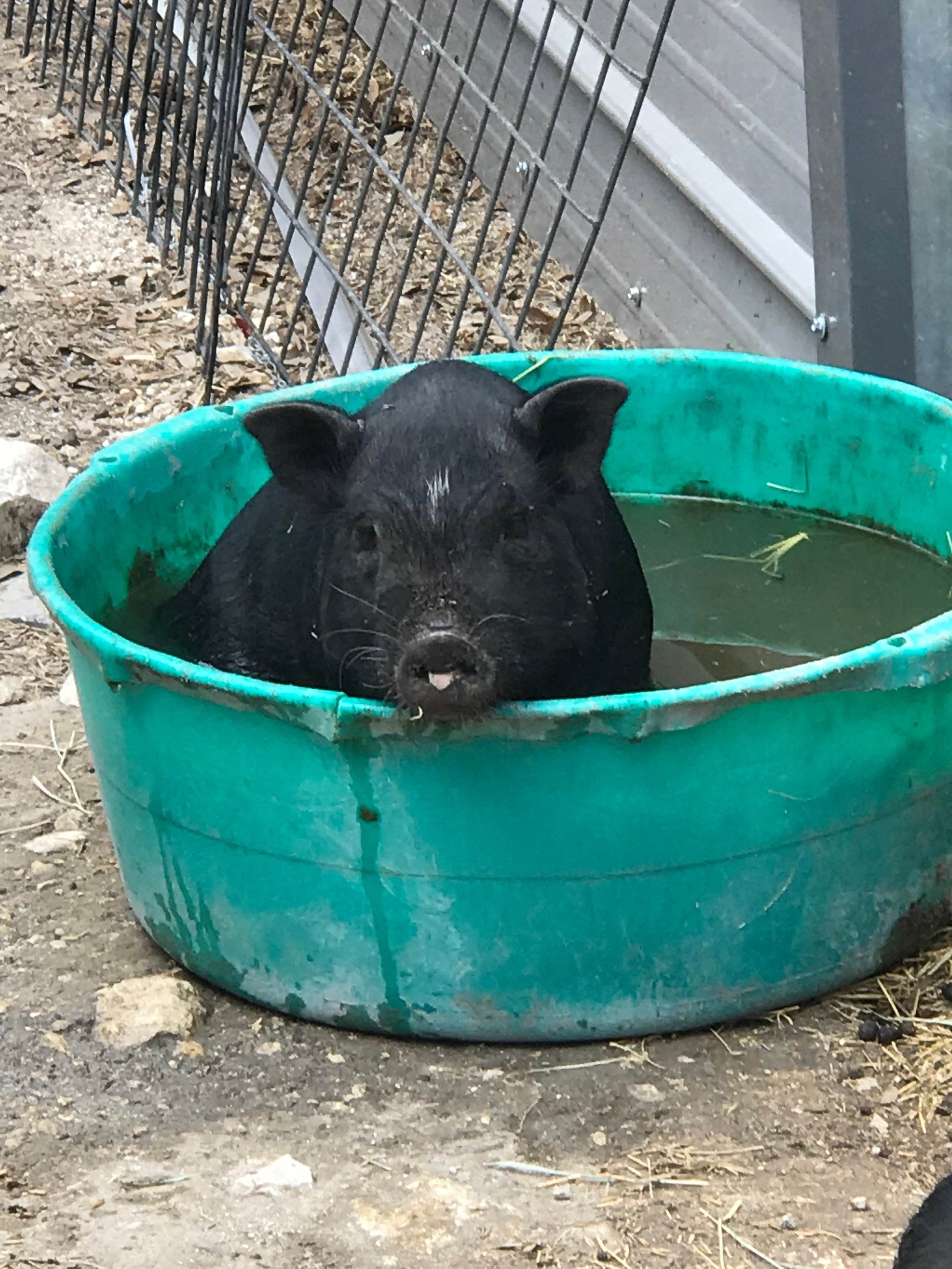 Our piggies favorite past-time in the hot Texas weather !!!!