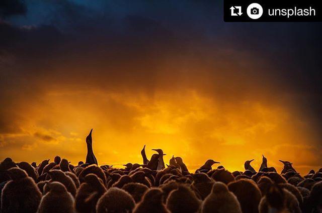 King penguins soaked in sunlight 🌅⠀ Feat. Ian Parker⠀ unsplash.com/evanescentlight ・・・ #goodmorning #penguins ♥️ ・・・ #Repost @unsplash with @get_repost ・・・ #Penguin #PenguinLove #SaveThePenguins #SaveEnvironment #Environment #Nature #MotherNature #DoGood #BeGood #Click4Good #morning #sunrise #animals #unsplash