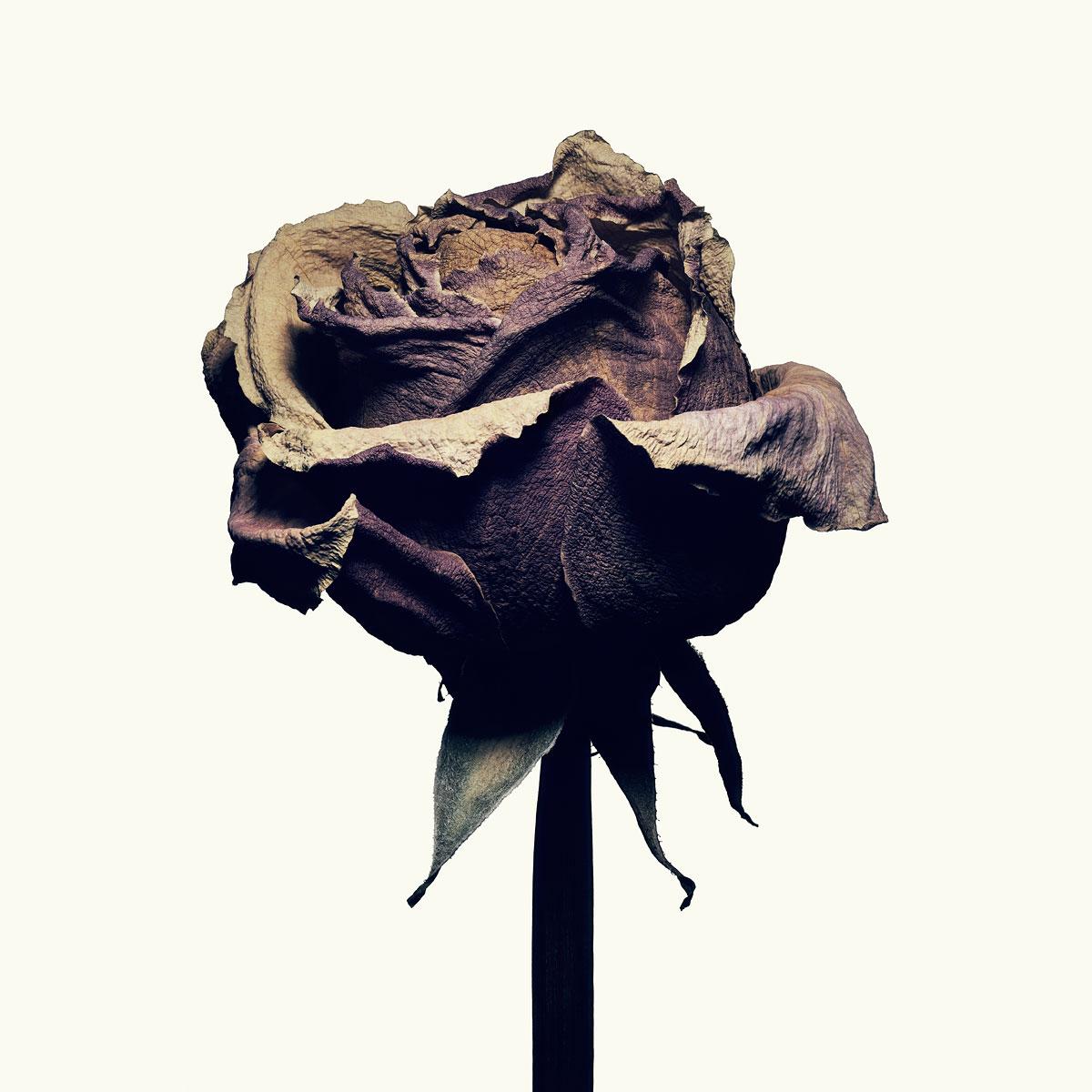 Plate 01_Rose #1