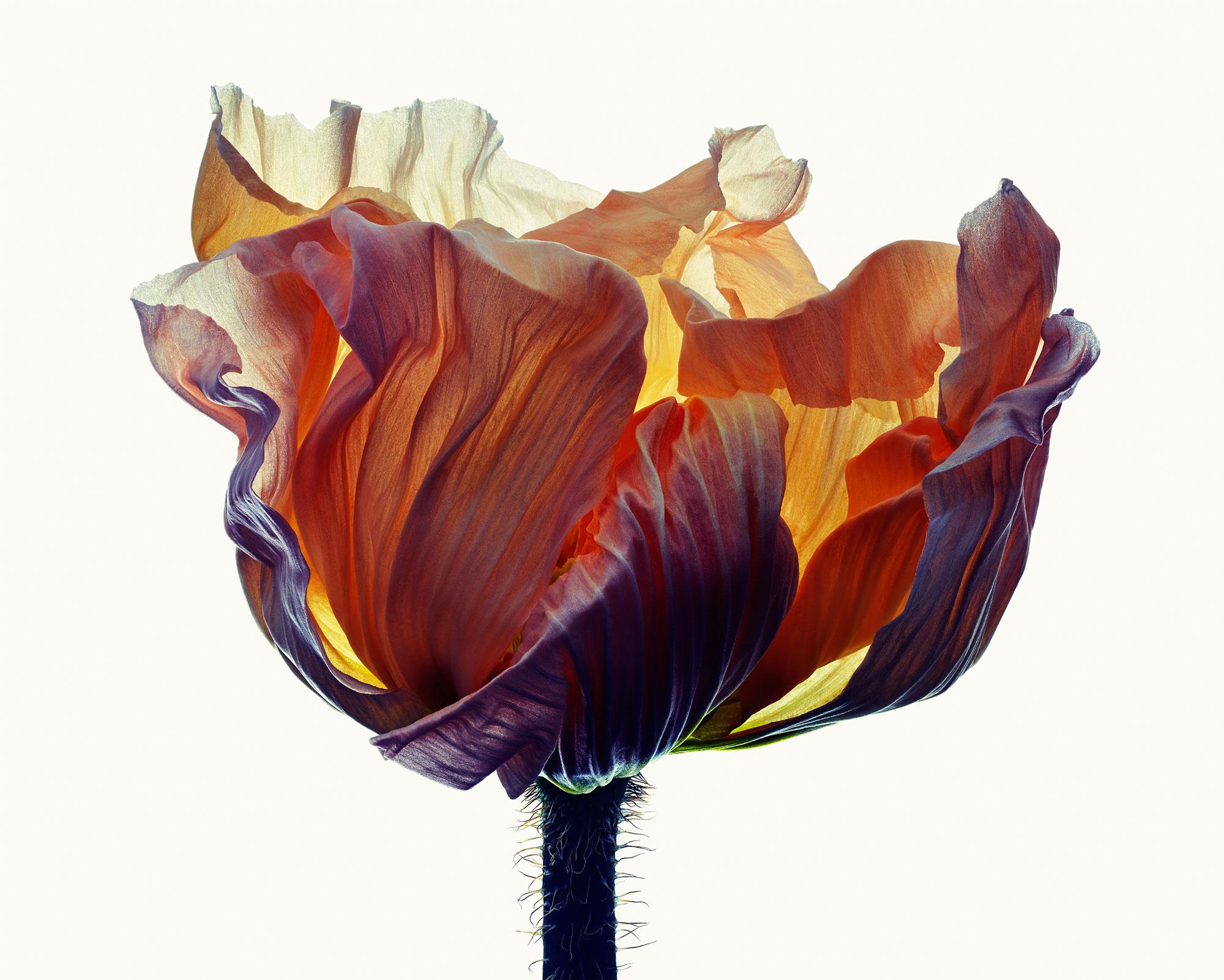 Poppy #1