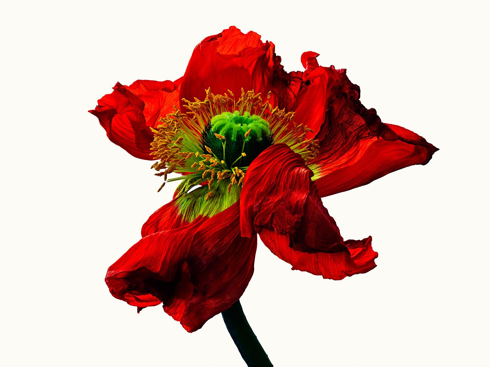 Poppy #2