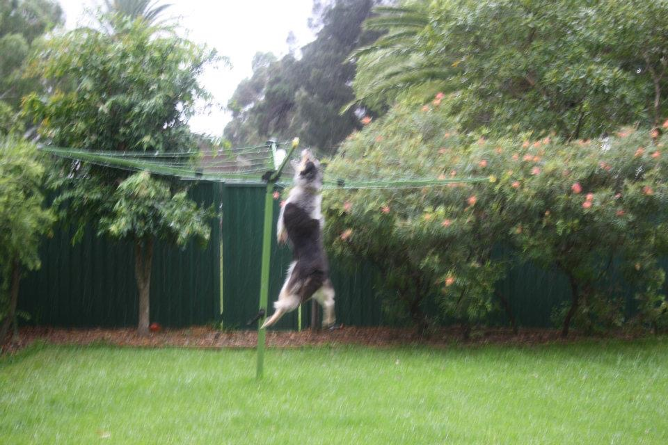 One of Roxy's favourite past time: chasing and jumping to touch the clothesline. Have you ever seen a dog jump so high?