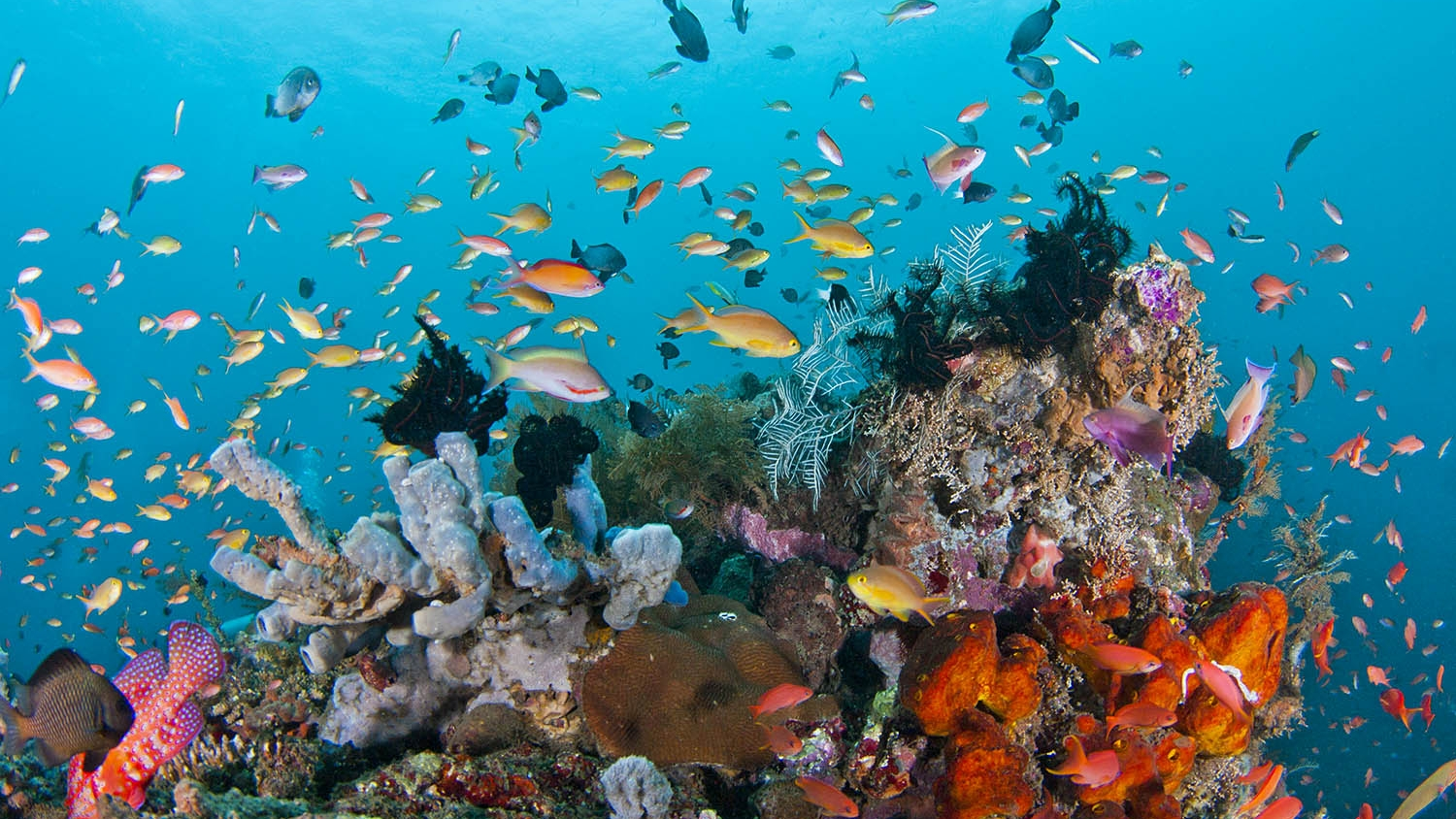 Amazing Batu Bolong - Batu Bolong is a world class dive site ranked amongst the top 10 best dive site in the world. Batu Bolong is a volcanic chimney rising up from the depth of the straight between Komodo Island and Rinca Island where strong currents hit the rock on one side or the other depending of the tide. Thanks to the currents, Batu Bolong is home to one of the most impressive dive you can do in Komodo National Park. Huge numbers of fish, sharks, turtles, moray eel, lobsters and many more have to be observed in this amazing spot. No need to dive deep as snorkelers will feel like they are into an aquarium full of tropical fish even at the surface.