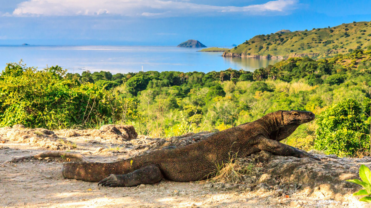 Komodo-Island komodo dragon.jpg
