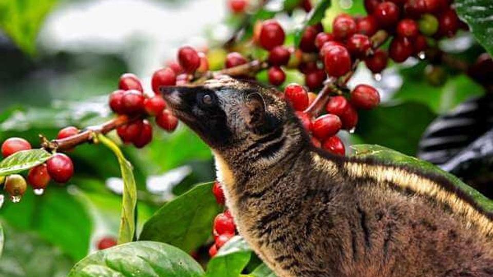 coffee-luwak-plantation.jpg