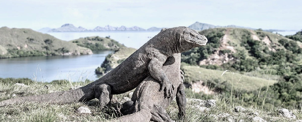 Komodo Dragons.jpeg