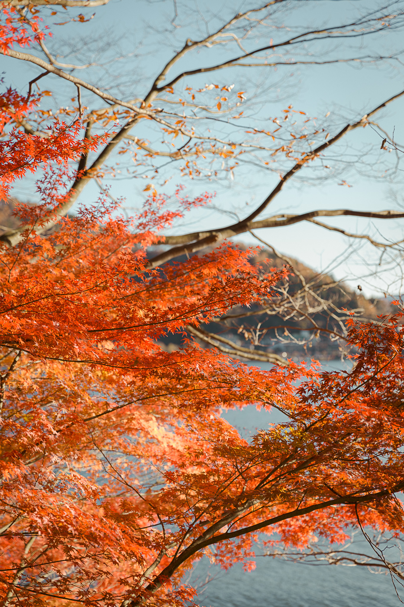 Autumn Leaves Lake Kawaguchiko Japan