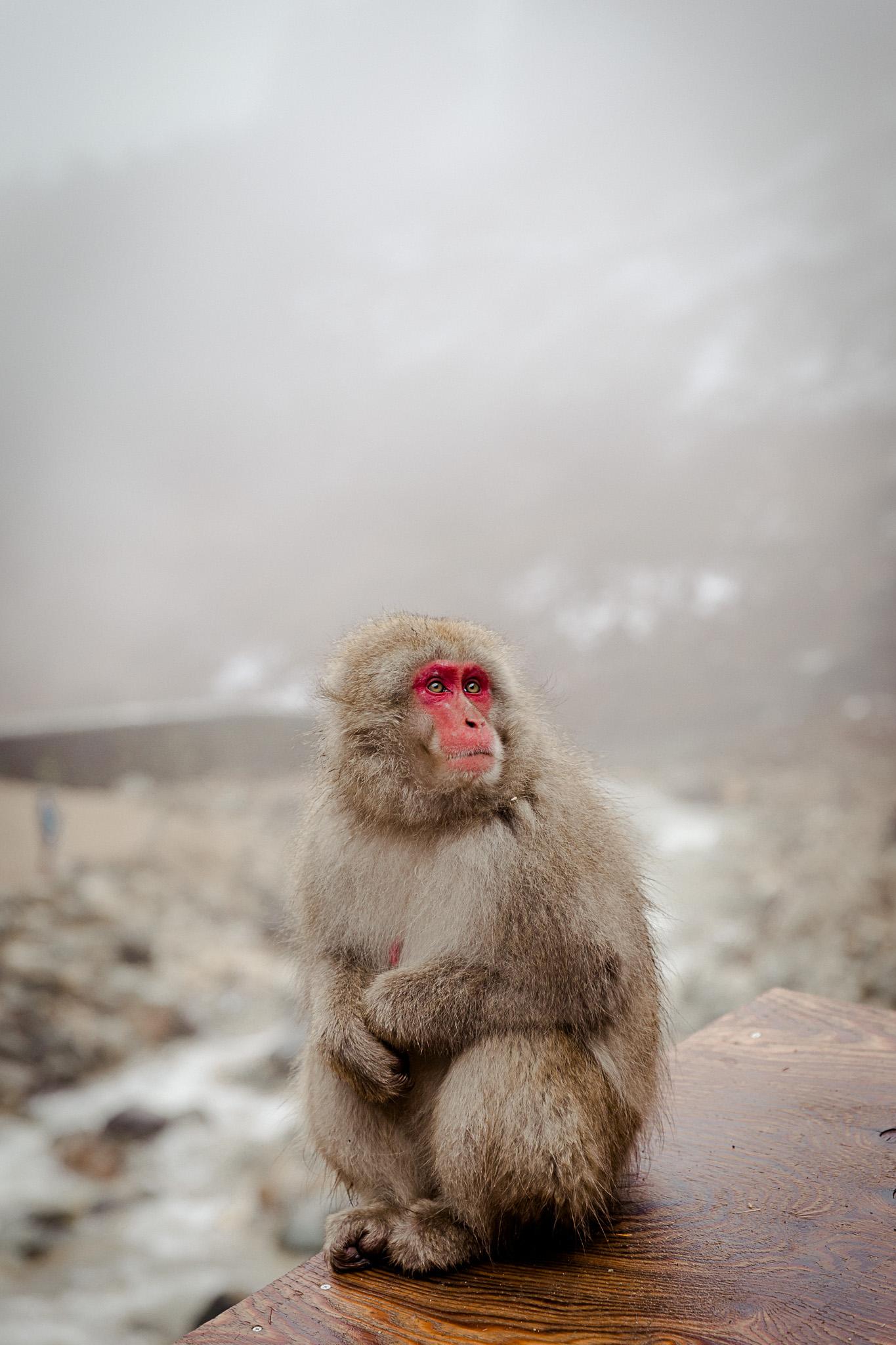 Jigokudani Monkey Park Shibu Onsen Yamanouchi Japan