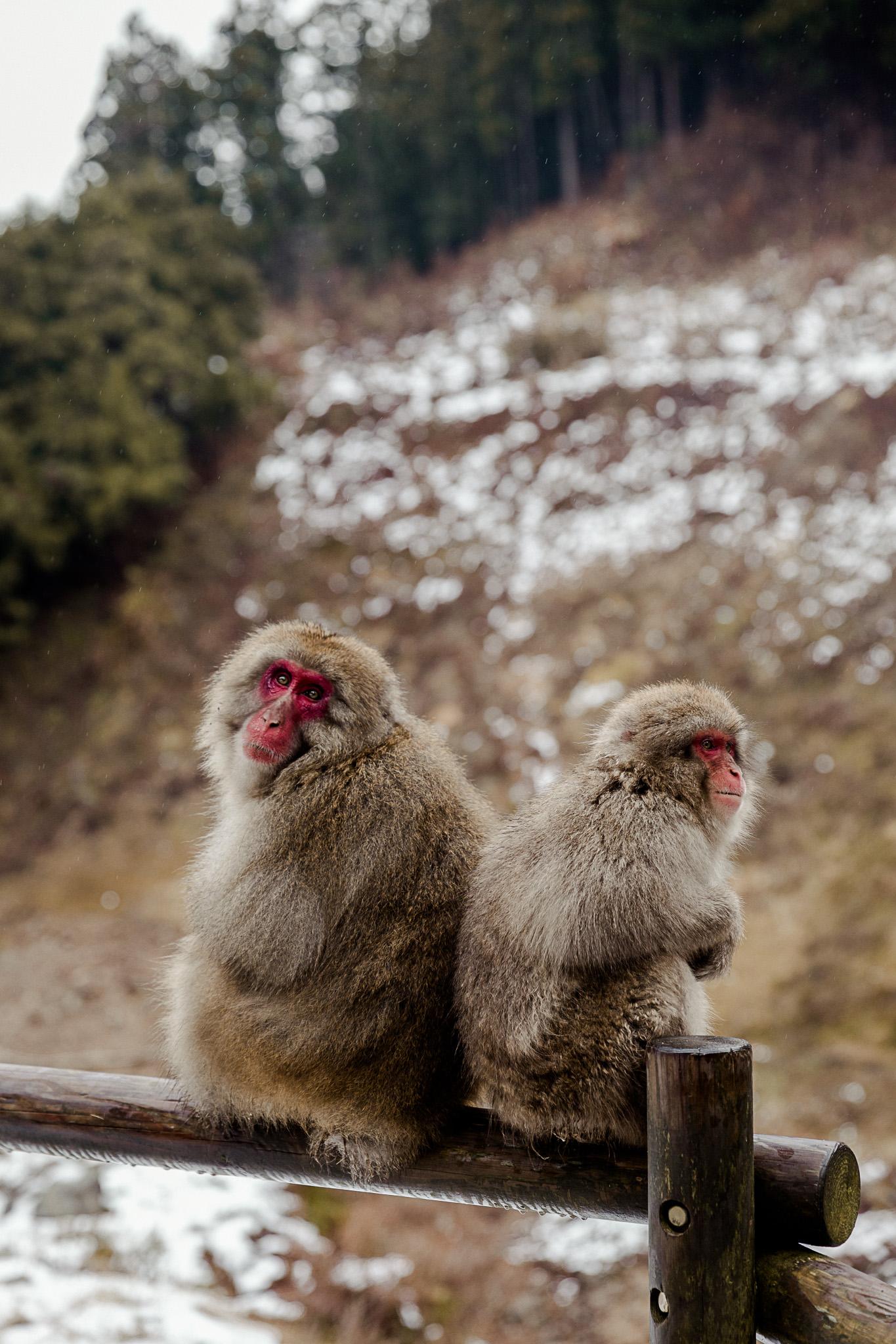 Jigokudani Monkey Park Shibu Onsen