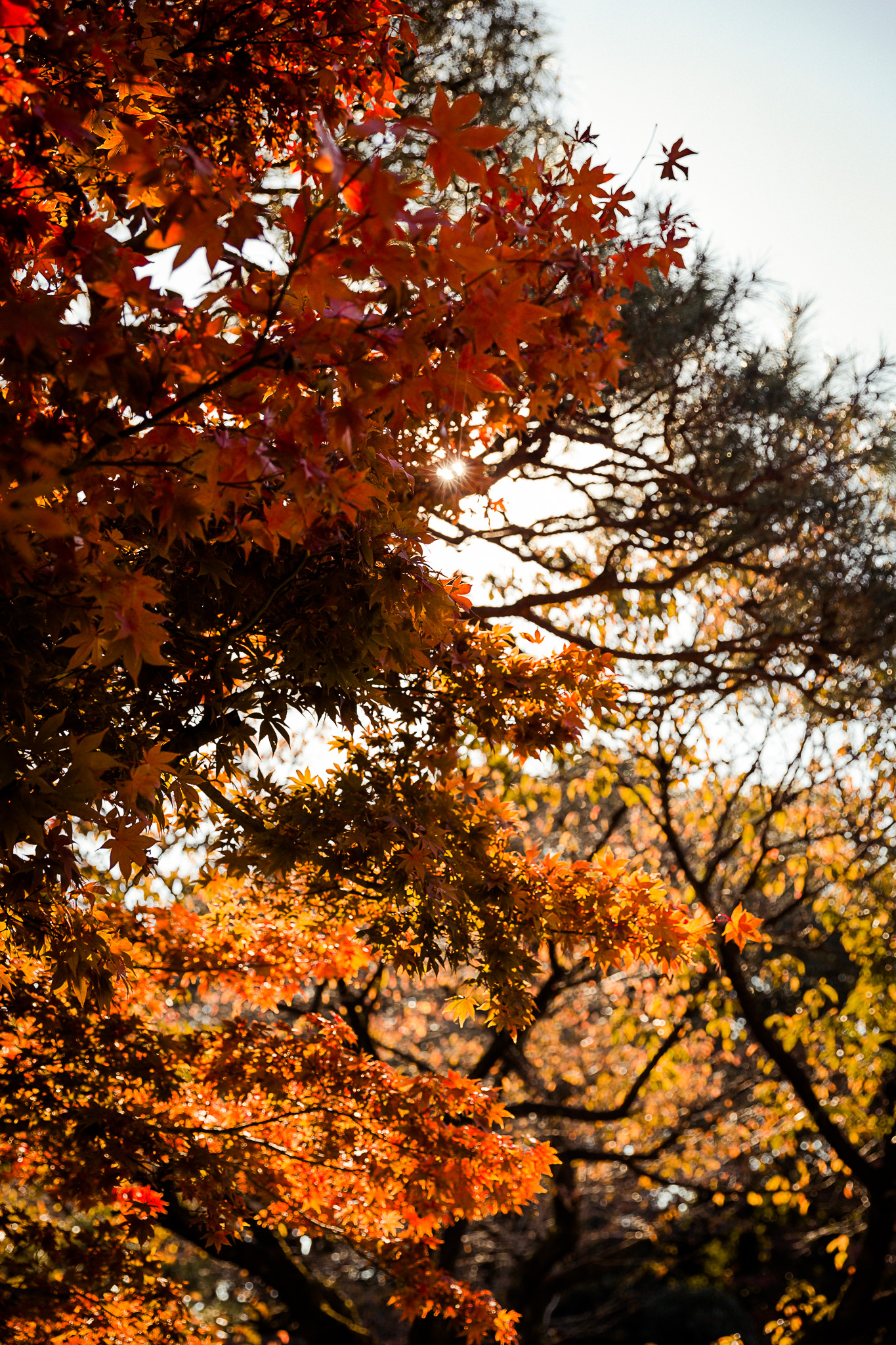 Autumn Foliage in Shinjuku Gyoen