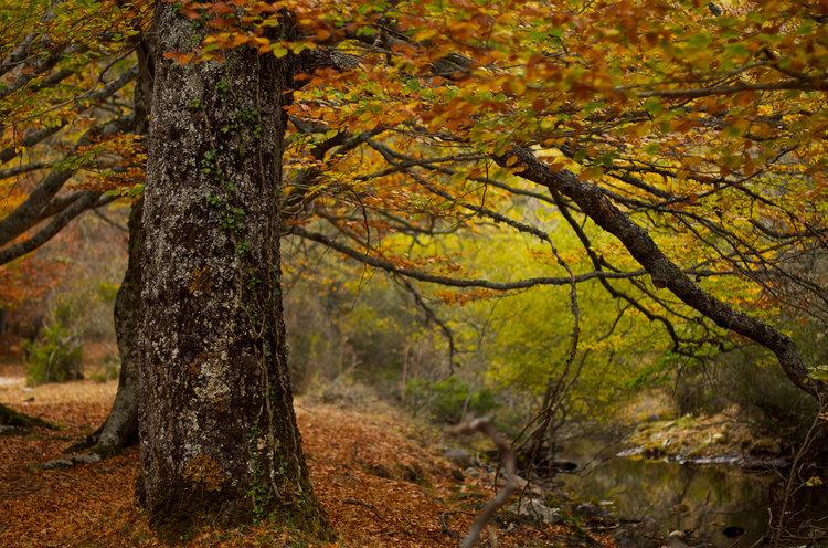 8 bosques en los que disfrutar del otoño en España - Hayedo de Montejo (Madrid) | Foto:  Padrikov | Dreamstime.com