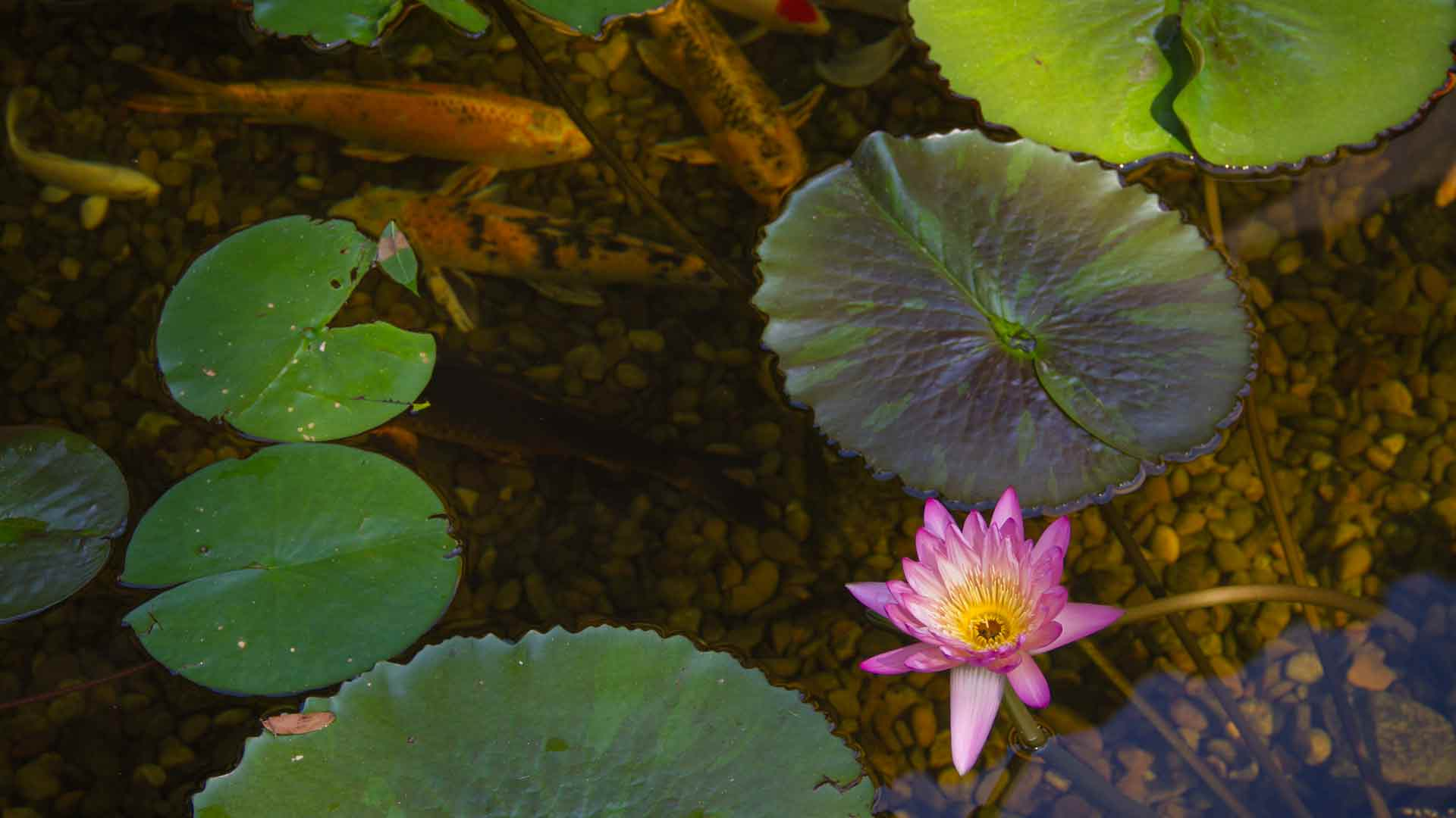 Auburn-Sky-Landscaping-Pond-Fish-Lily-Pad-Aquatic-Plants-.jpg