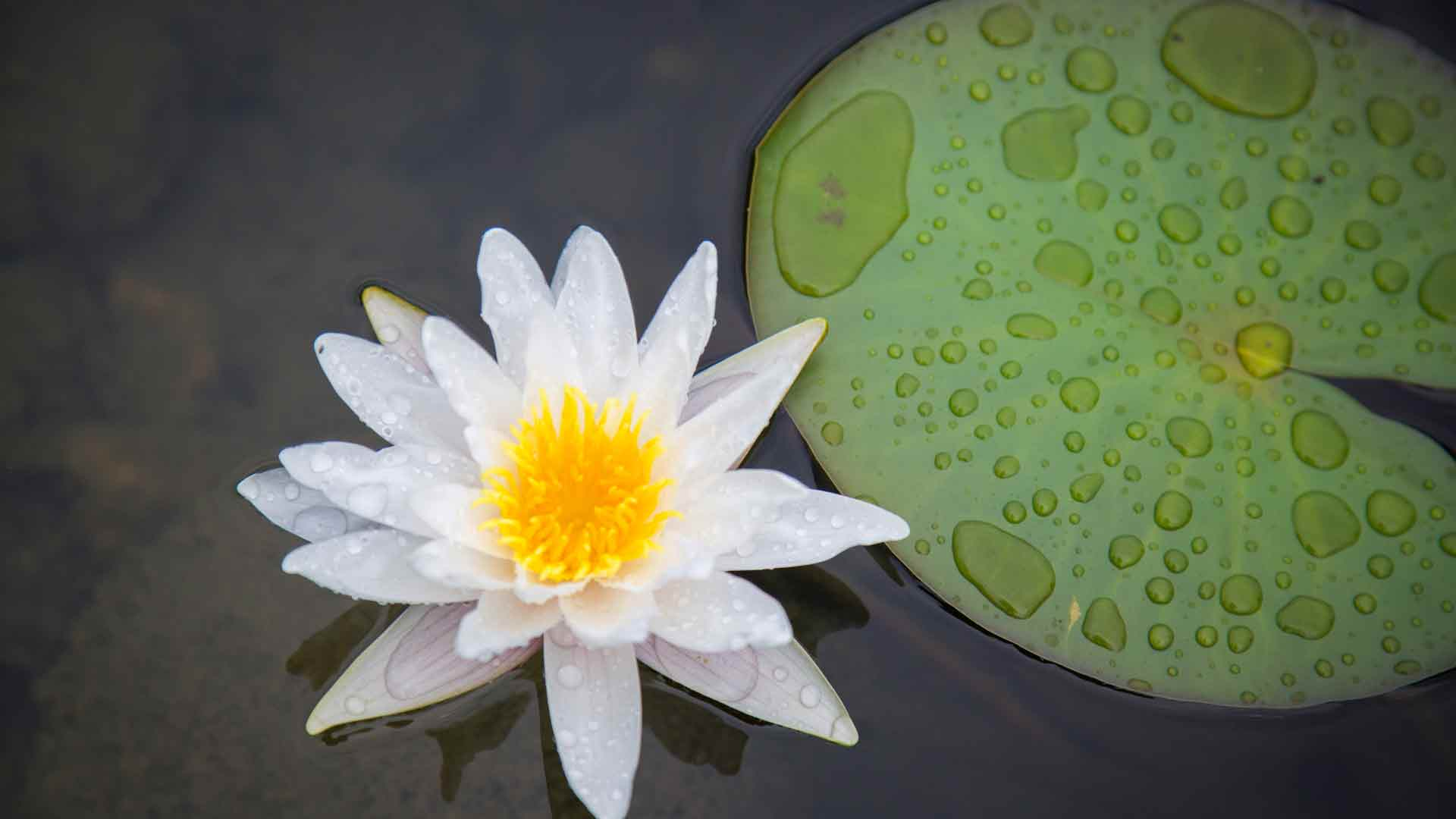 Auburn-Sky-Landscaping-Lily-Pad-Aquatic-Plants.jpg