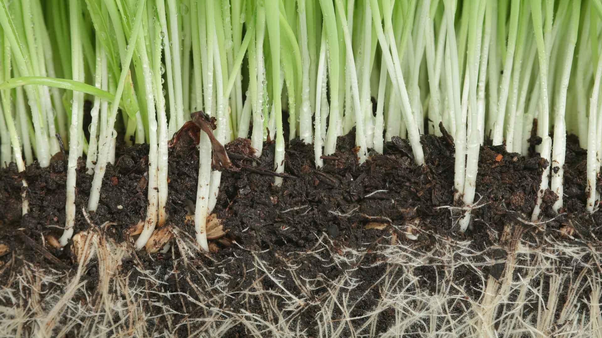 Auburn-Sky-Landscaping-Core-Aeration-Grass-Root-System.jpg