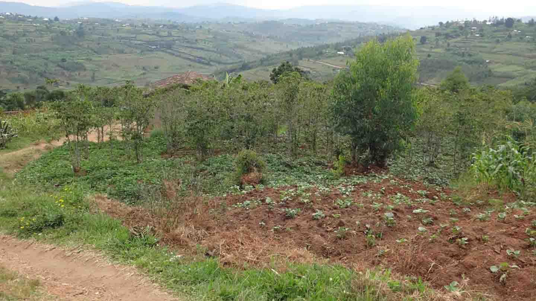 coffee plantations in Rwanda farmers .jpg