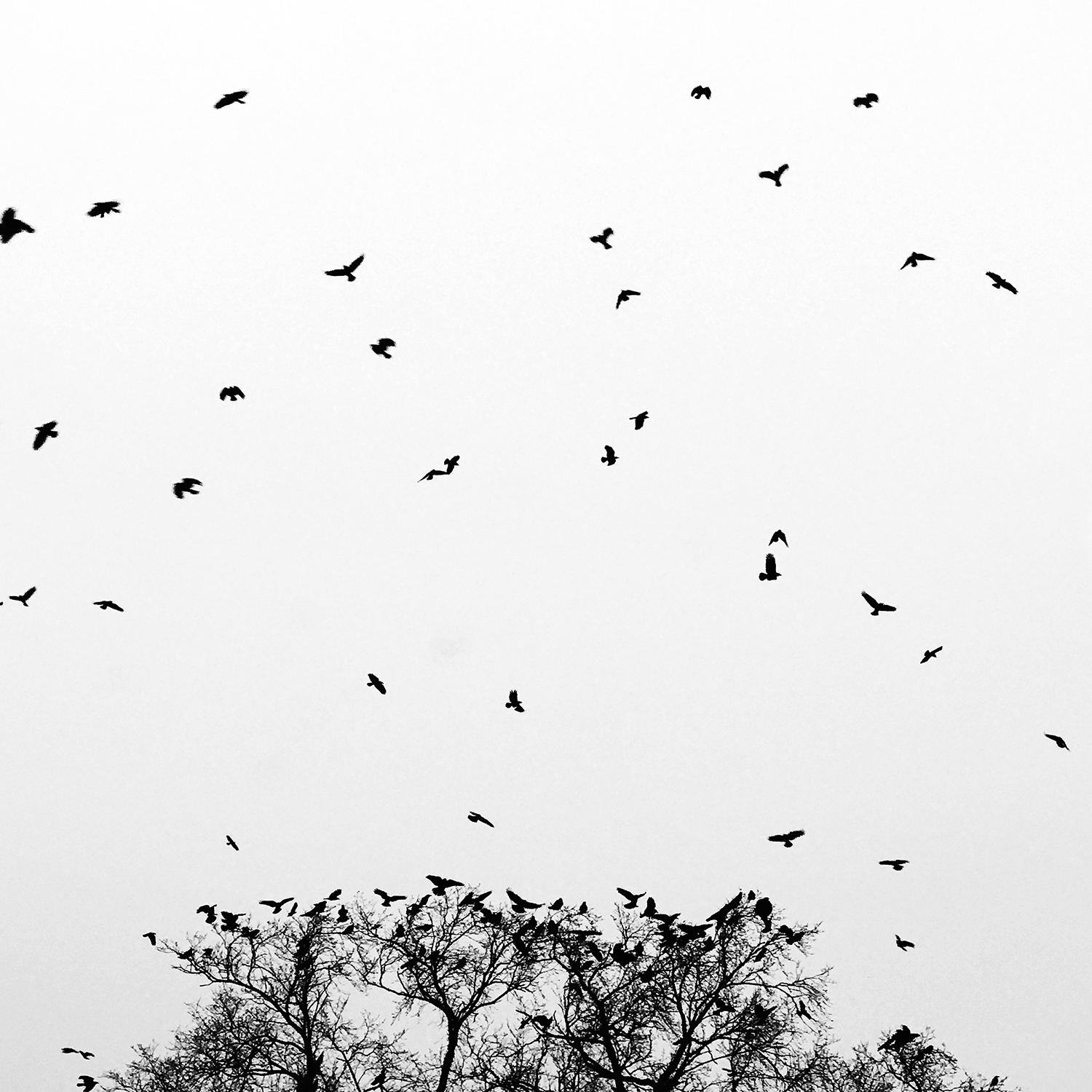 iphone7plus_crows_1500.jpg