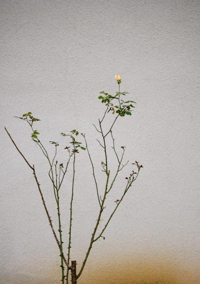 05-DanijelaPruginic- Baka's rose.png