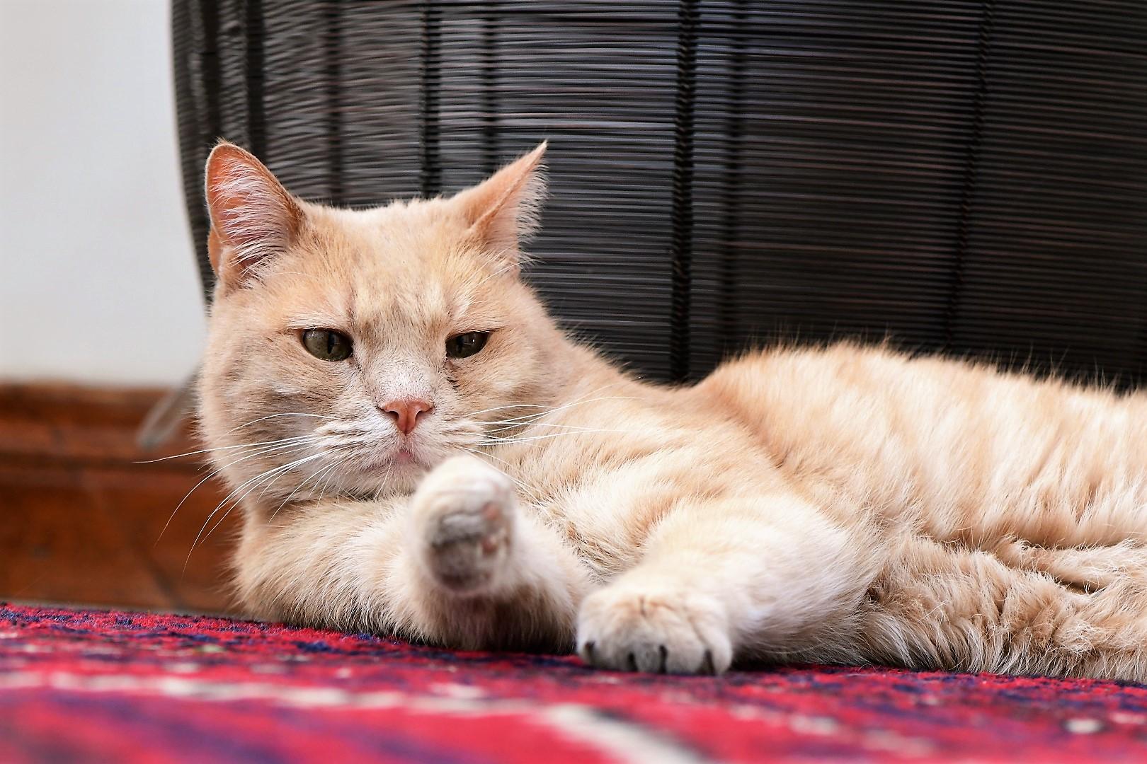 Elliot, guest house cat