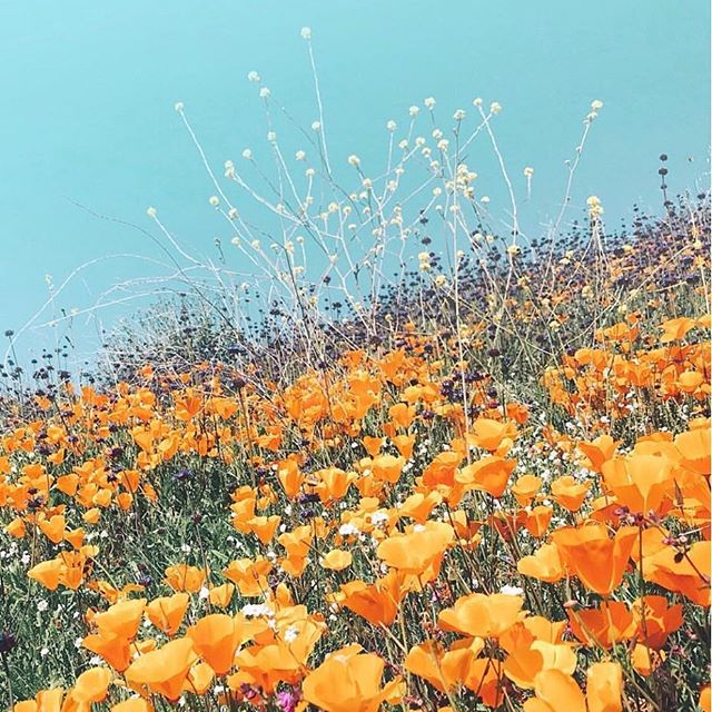 It's a modern day gold rush and we're here for it. #superbloom (Pc: @notandyy) . . . . #placemaking #california #californiapoppy #californialove #visitcalifornia #goldrush #tgif #weekendvibes