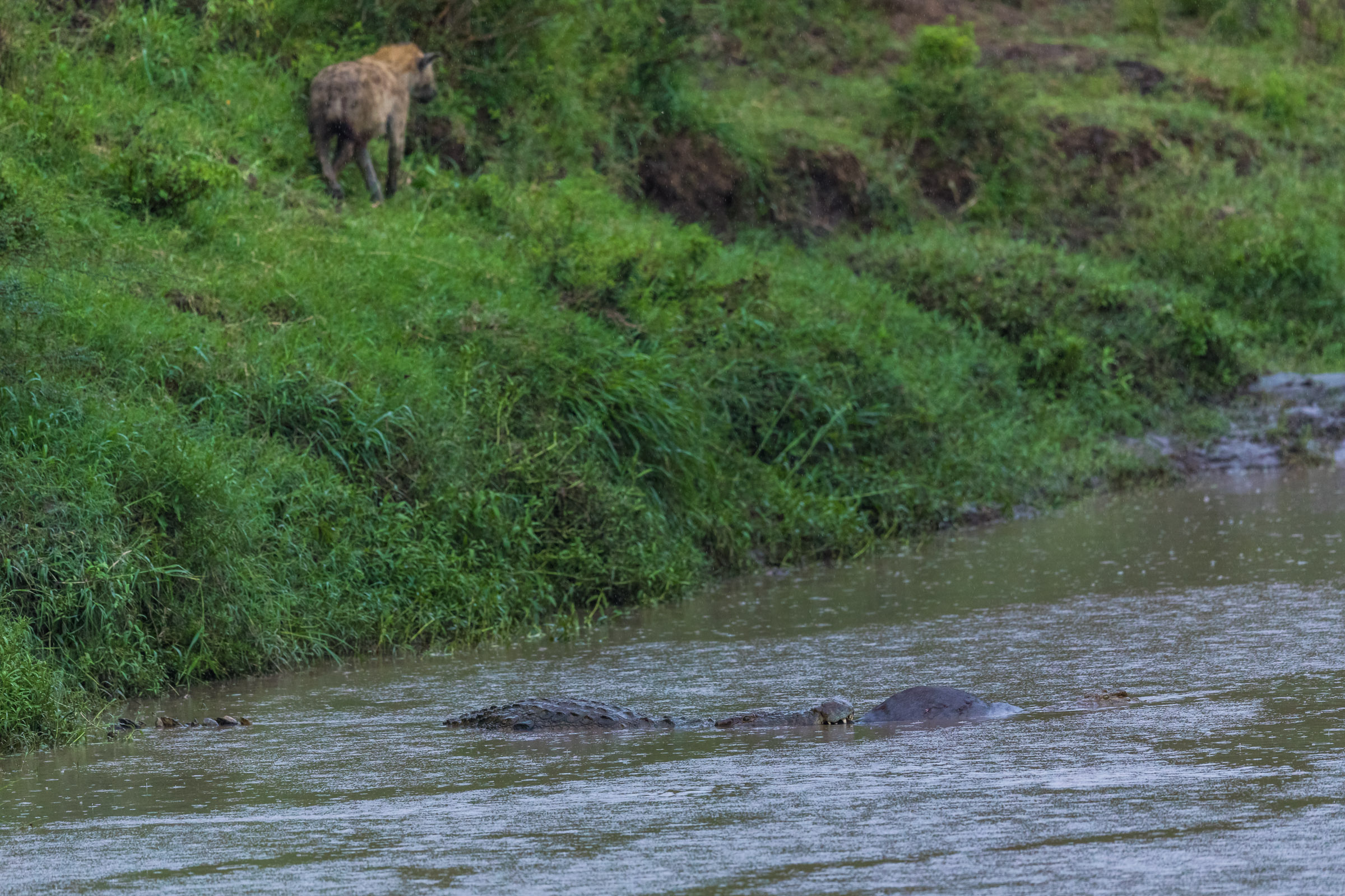 The Hyena walk by the banks watching his prey taken by others..