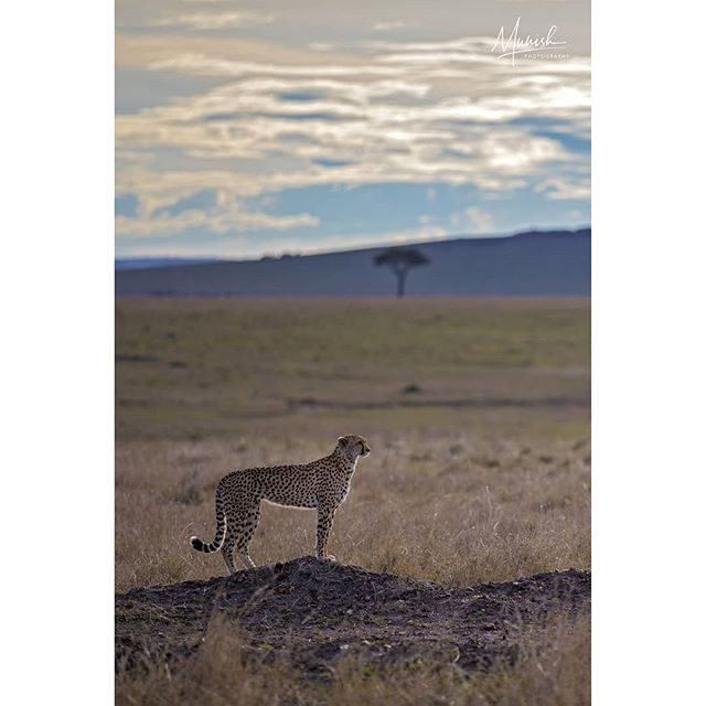Amani the cheetah and her habitat !  Masai Mara | November 2018  5D IV + 70-200 2.8 L IS III © www.munishphotography.com  #masaimara #maasaimara #kenya #savannah #africa #african_portraits #africanwildlife #africageo #bbcearth  #naturephotography  #safari #wildlifeart #indianafricanwildlife #wildlifeonearth  #photography #africandance #africanwildlife #africa #mammal #naturephotography #natgeo #natgeoyourshot #bbcearth #ourlonelyplanet #bigcats #cheetah #canonasia #canon  @natgeoyourshot @natgeoindia @canonindia_official @canonasia sia @natgeotravel @lonelyplanet @lonelyplanetmagazineindia @bbcearth @bbc_travel @natgeo_africa @world_wildlife @indian.african.wildlife @africageo @africanwildlife_ @mammals @zealwildlife #masaimara @lion_loverss @lion.nom.suffit @indian.african.wildlife @africanimals @african_portraits @africanwildlifefoundation @natgeo_africa @african.inspired