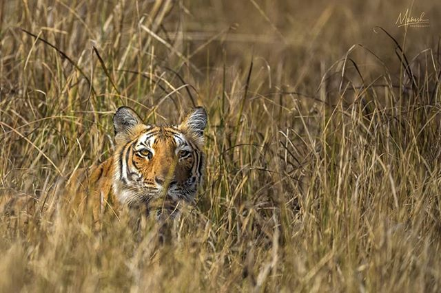 When the head pops up from the bushes after a looooong wait... Parwali @ Jim Corbett.  Jim Corbett | Jan 2019 | 5D IV + 400 2.8 ii © www.munishphotography.com  #jimcorbettnationalpark #corbett #jimcorbett #tiger #tigers #tigersofindia #wildscape #indianafricanwildlife #indianwildlife #forest #safari #cnp #indianwildlifeofficial #canonasia #canonindia #wildlife #mammal  #naturephotography #nature #goldenlight  #natgeo #natgeoyourshot #bbcearth #ourlonelyplanet #masaimara #maasaimara  @indian.african.wildlife @natgeotravel @indianwildlifeofficial @lonelyplanetmagazineindia @corbett_aadil @tigers_of_india @canonindia_official @canonasia @natgeoyourshot @natgeoindia @canonindia_official @canonasia sia @natgeotravel @lonelyplanet @lonelyplanetmagazineindia @bbcearth @bbc_travel @natgeo_africa @world_wildlife @indian.african.wildlife @africageo @africanwildlife_ @mammals @lion.nom.suffit @indian.african.wildlife