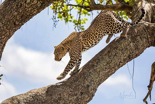 When focus is clear... Huddles doesn't matter !  It was a bright day and we waited under the tree for four hours for him to walk down... Skipping lunch paid back.  If you are interested in joining me for BIG CATS SAFARI by this November, do mssg me.. www.munishphotography.com  #masaimara #maasaimara #kenya #leopard #tree #wildlife_photography #savannah #africa #africanwildlife #africageo #bbcearth  #naturephotography  #safari #wildlifeart #indianafricanwildlife #wildlifeonearth #photosafari #photography #africa #african_portraits #africanwildlife  #naturephotography #nature  #natgeo #natgeoyourshot #bbcearth #ourlonelyplanet #bigcats  @natgeoyourshot @natgeoindia @canonindia_official @canonasia sia @natgeotravel @lonelyplanet @lonelyplanetmagazineindia @bbcearth @bbc_travel @natgeo_africa @world_wildlife @indian.african.wildlife @africageo @africanwildlife_ @mammals @zealwildlife #masaimara @lion_loverss @lion.nom.suffit @indian.african.wildlife @africanimals @african_portraits @africanwildlifefoundation @natgeo_africa @african.inspired @bigcatswildlife @save.big.cats @bigcatsdiary