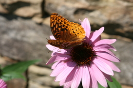 Butterfly lingers in Struve garden on Echinacea