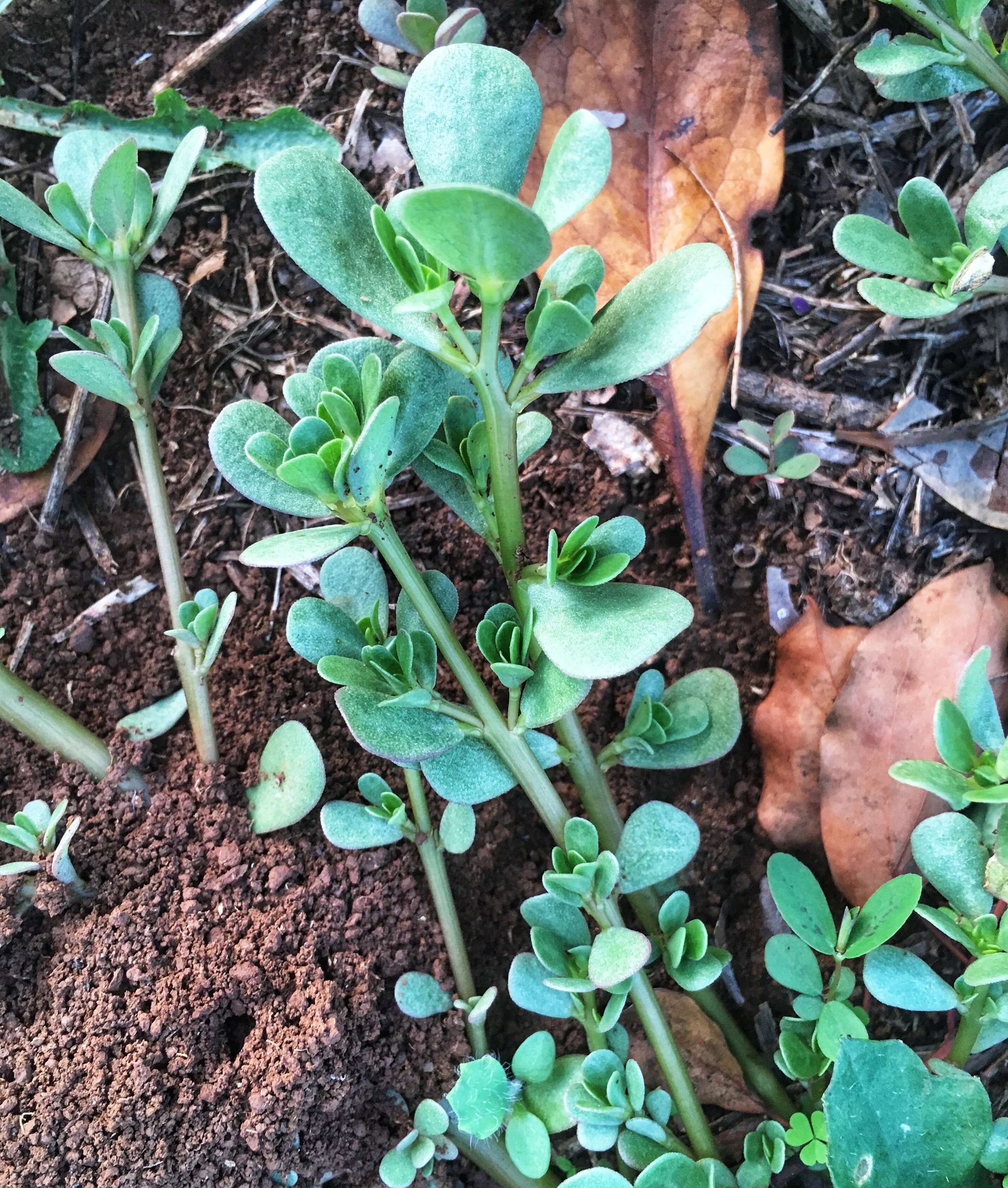Young purslane, sprouting after the rain in late Feb/early March, Northern NSW