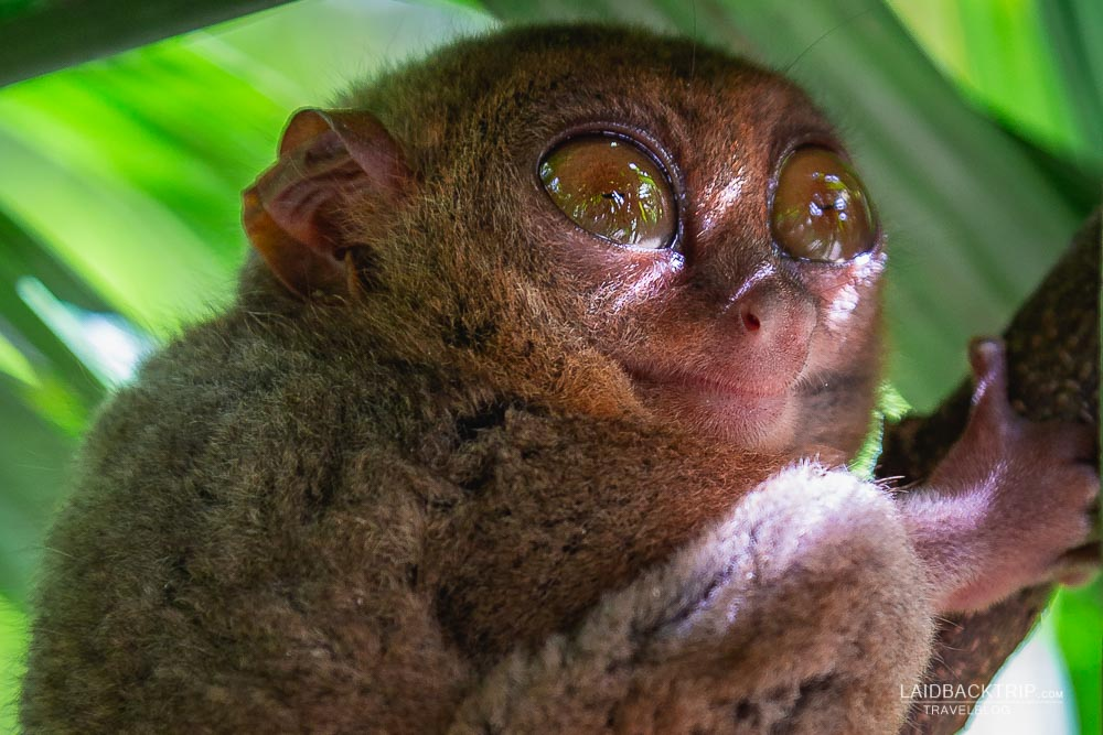 visit tarsiers sanctuary in bohol island | philippines  travel guide by LaidBackTrip